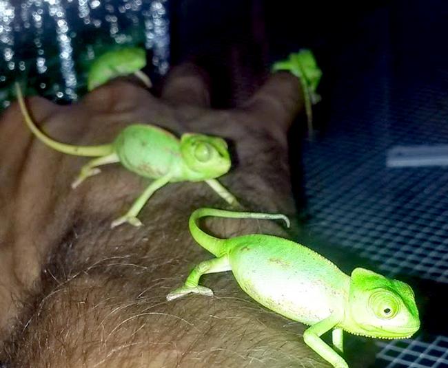 Redland-Market-Village-Roberts-Pet-Shop-Chameleons